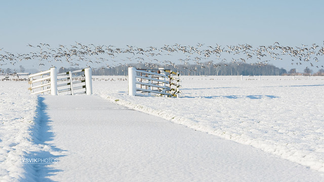 Winter landscape with fence and geese