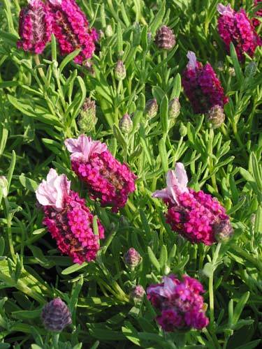 Lavender Kew Red