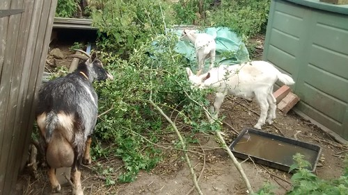 goats eating hawthorn Aug 16 1