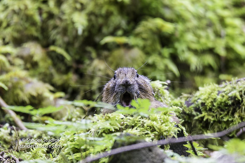 Pika in Columbia River Gorge | by SteiderStudios