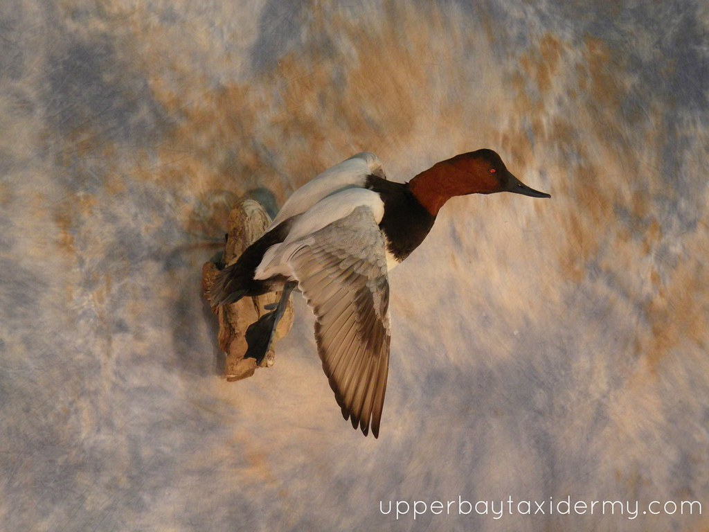 Canvasback | Canvasback, Tolling Wall Mount on Driftwood ...
