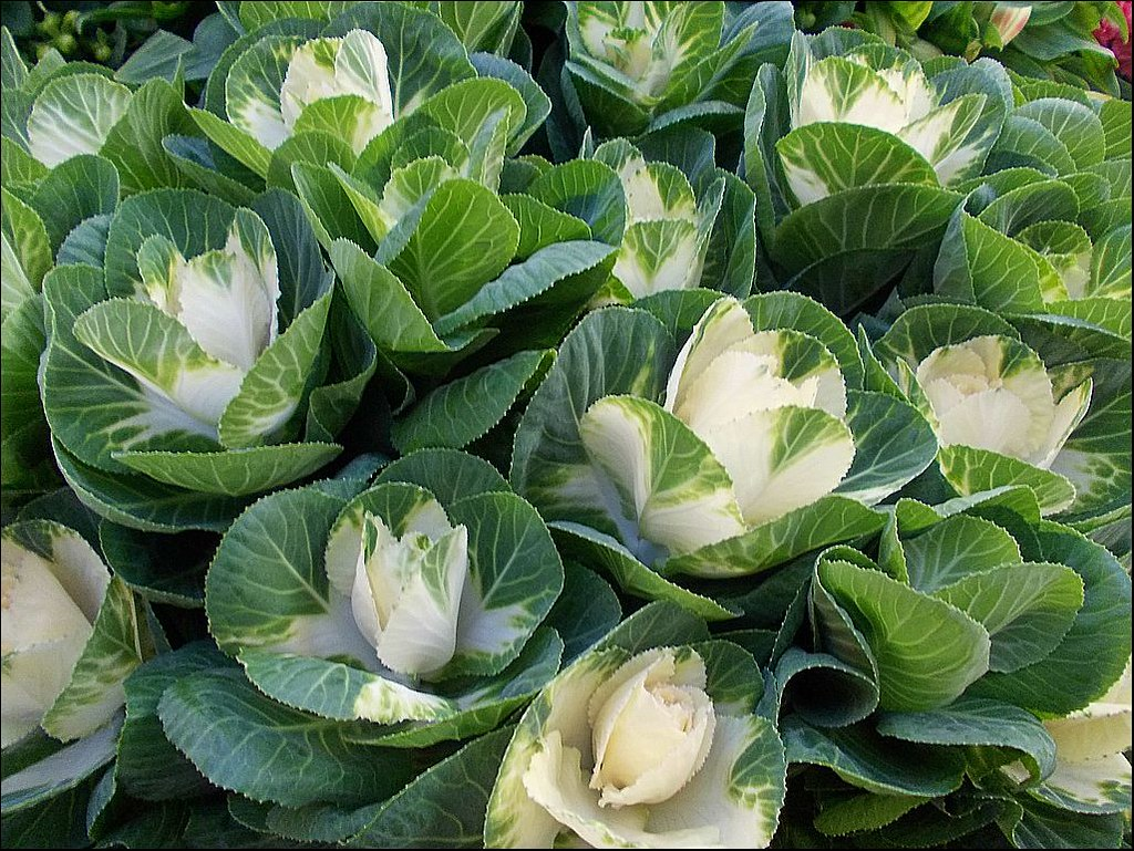 Brassica White Crane Also Known As Ornamental Cabbages Flickr