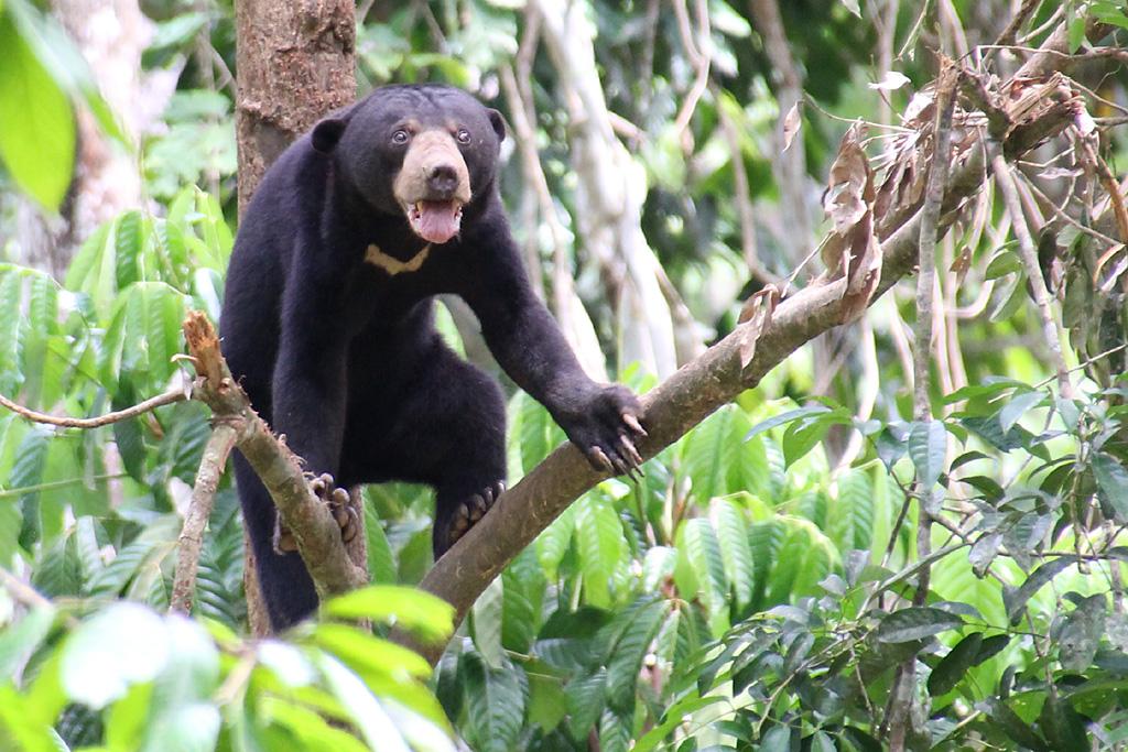 Helarctos malayanus euryspilus / Beruang Madu | Flickr