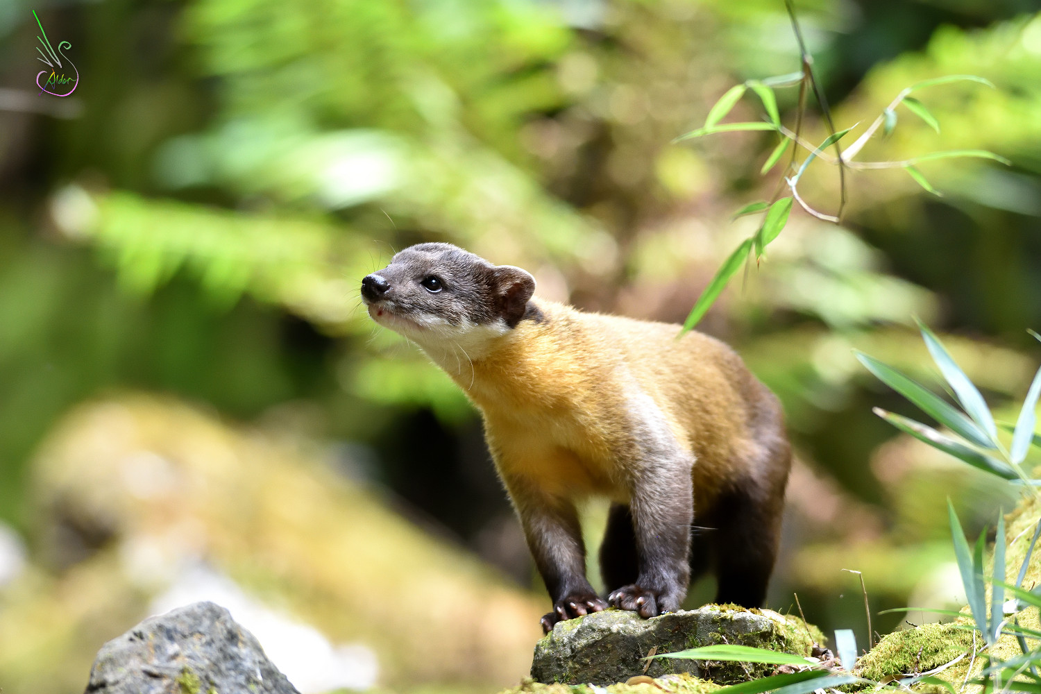 Yellow-throated_Marten_0276