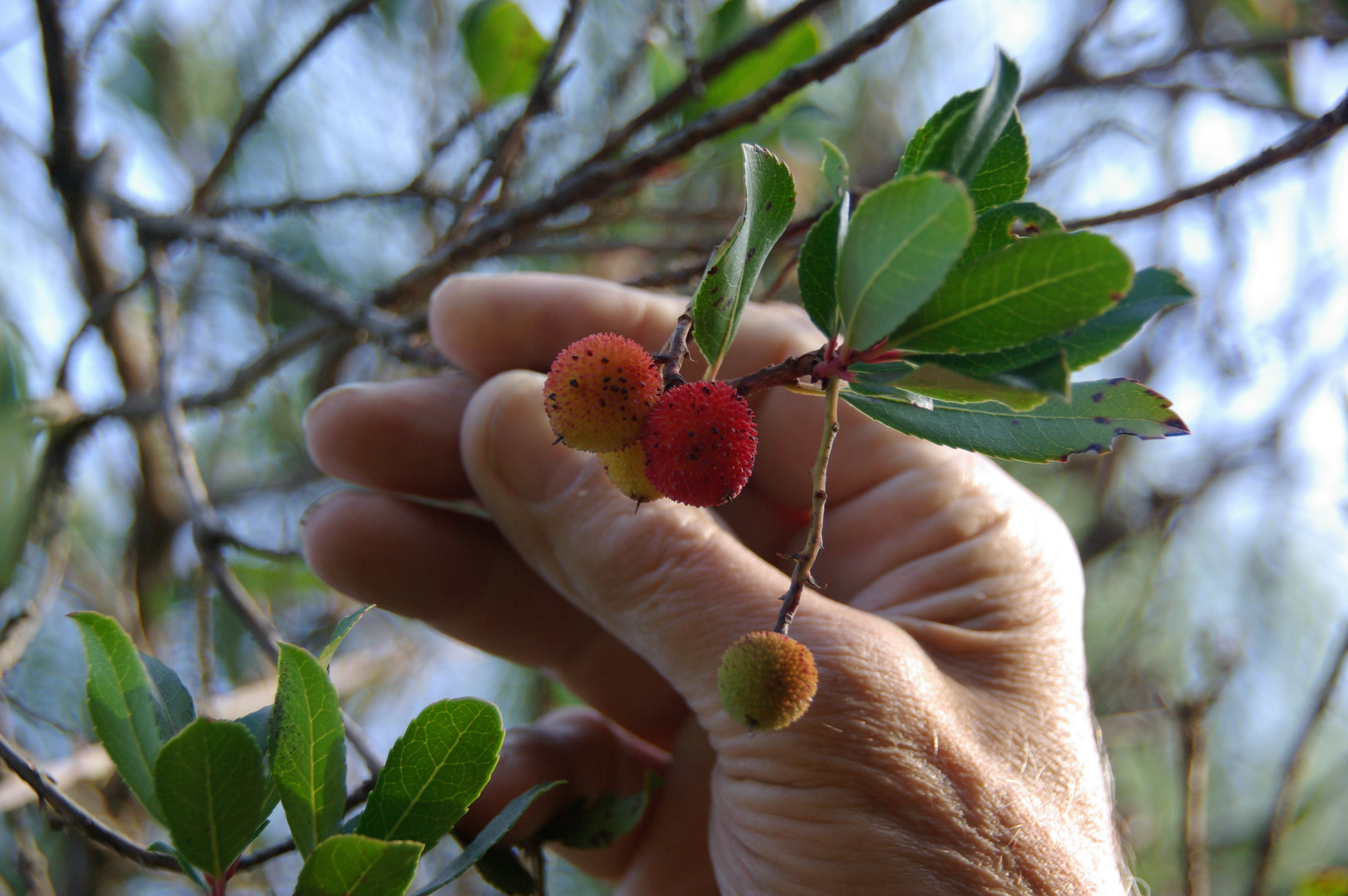 weird and beautiful fruit from the strawberry tree