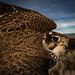 Male Prairie Falcon