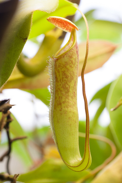 Nepenthes sp. Langkawi
