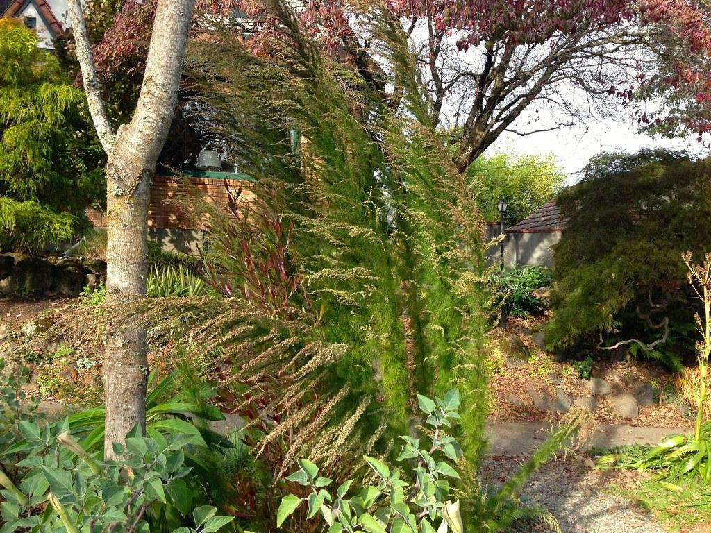 Eupatorium capillifolium 'Elegant Feather'