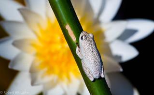Reed Frog Botswana Botswana