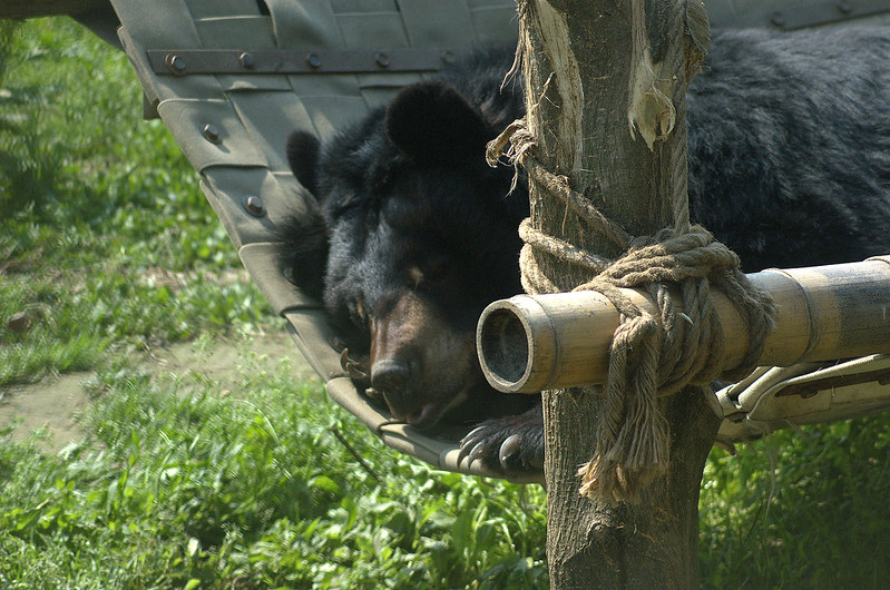 The bear sleeps on a firehose hammock