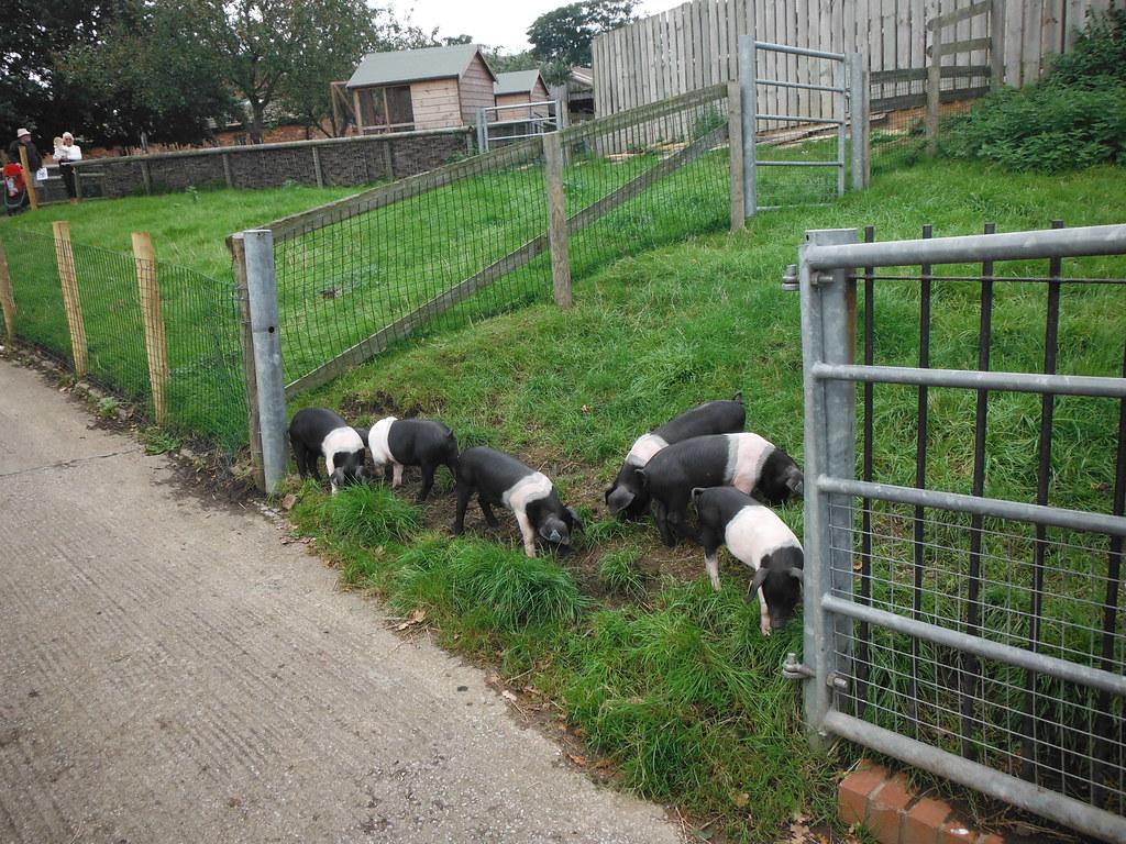 Piglets 8