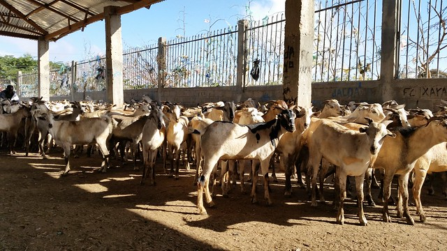 Hargeisa livestock market – goats selected for export