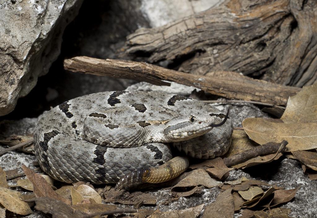 Resultado de imagem para Tamaulipan rock rattlesnake