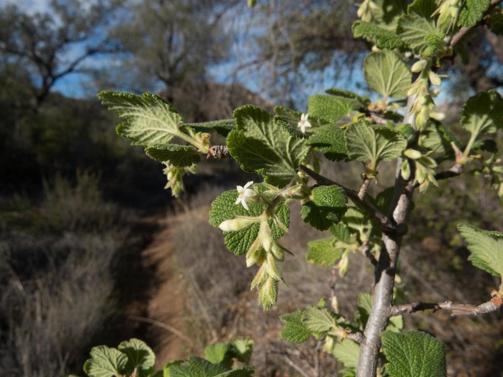 Grossulariaceae ribes indecorum white flower currant flickr ribes indecorum white flower currant by aking1 mightylinksfo