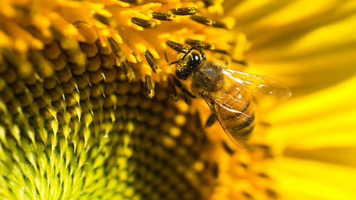 Honey Bee at Work McKee Beshers Sony 30mm Macro E Mount