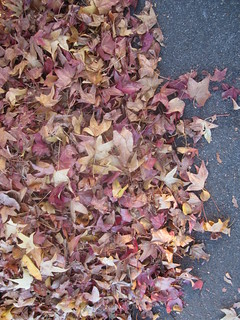 Old Maple Leaves on Ground | by shaire productions