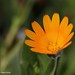 Macro of a Small Dainty Flower: Field Marigold