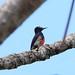 Yellow-tufted woodpecker (Melanerpes cruentatus) Mahdia Guyana jan 2015