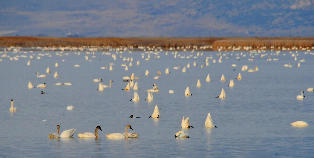 大量的苔原天鵝( Tundra Swan)正在熊河保護區的棲地內,尋找塊莖和水生植被。圖片來源:USFWS Mountain-Prairie ,Tom Koerner/USFWS(CC BY-NC 2.0)