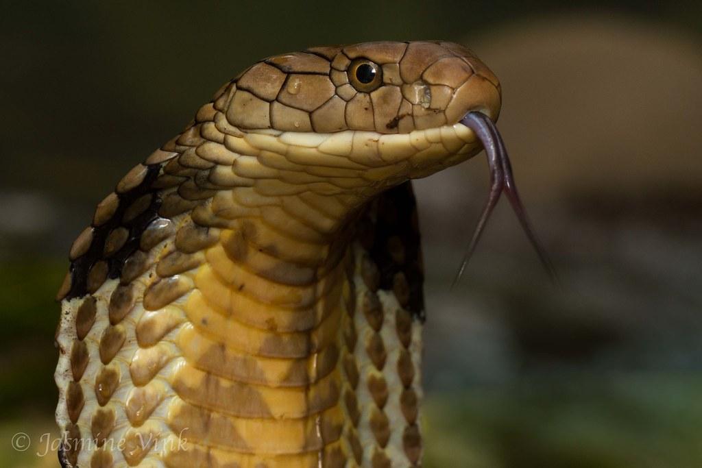 Ophiophagus hannah | King Cobra from Bali | Jasmine Vink