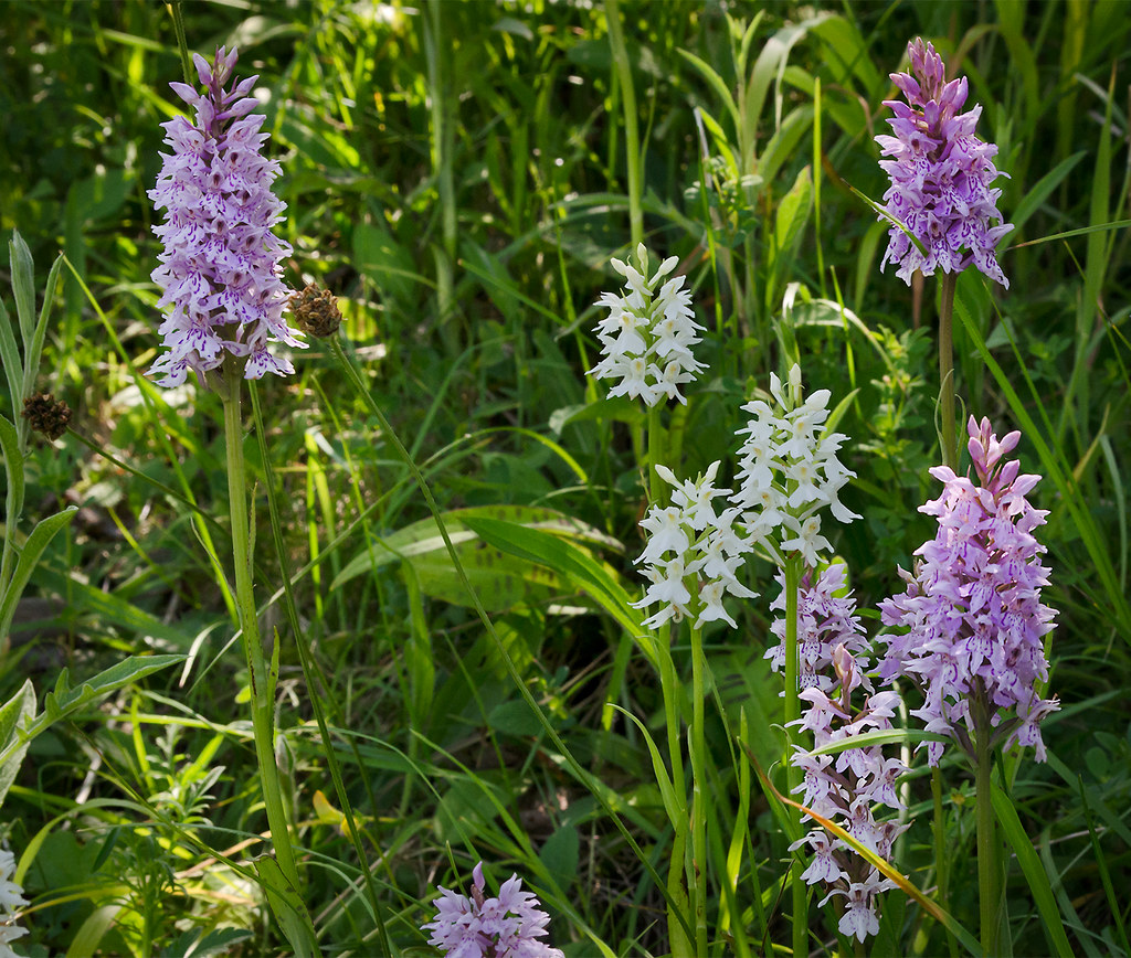 Image result for wild orchids in england