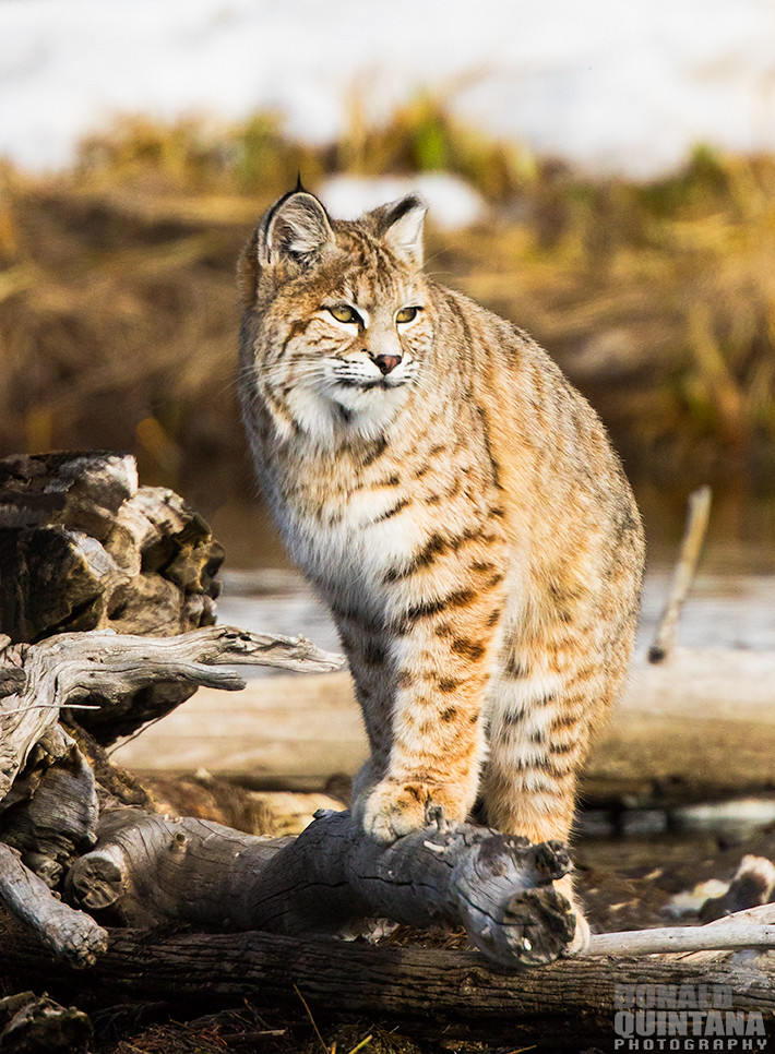 Bobcat Lynx Rufus Along The Madison River Yellowstone N