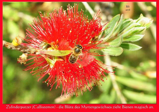 Garten des Bretagne-Ferienhauses: Zylinderputzer (Callistemon), Myrtengewächs, Bienenweide, Bienen, Hummeln - Foto: Brigitte Stolle 2016