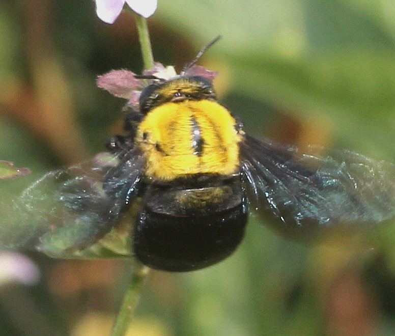 Carpenter Bees How To Get Rid Of Naturally