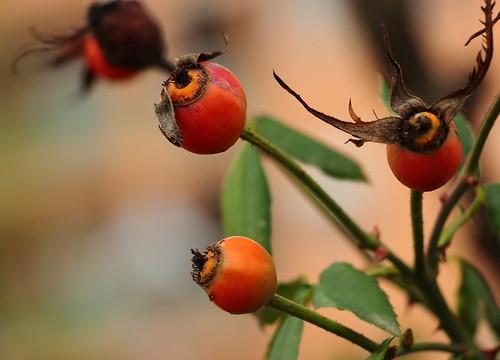 Pianta con bacche rosse grandi eleonora cacciari flickr for Pianta ornamentale con bacche rosse