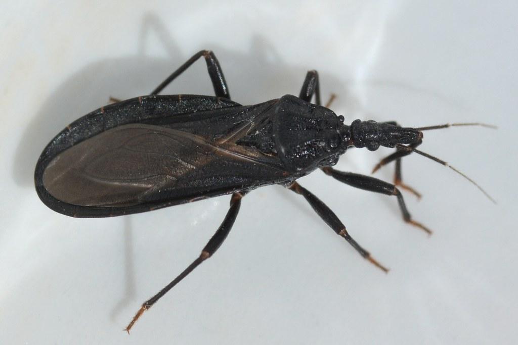 Western Bloodsucking Conenose Bug Triatoma Protracta Red