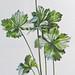 Scherpe boterbloem / Common buttercup / Ranunculus acris