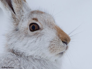 Mountain Hare | by robcimages.co.uk