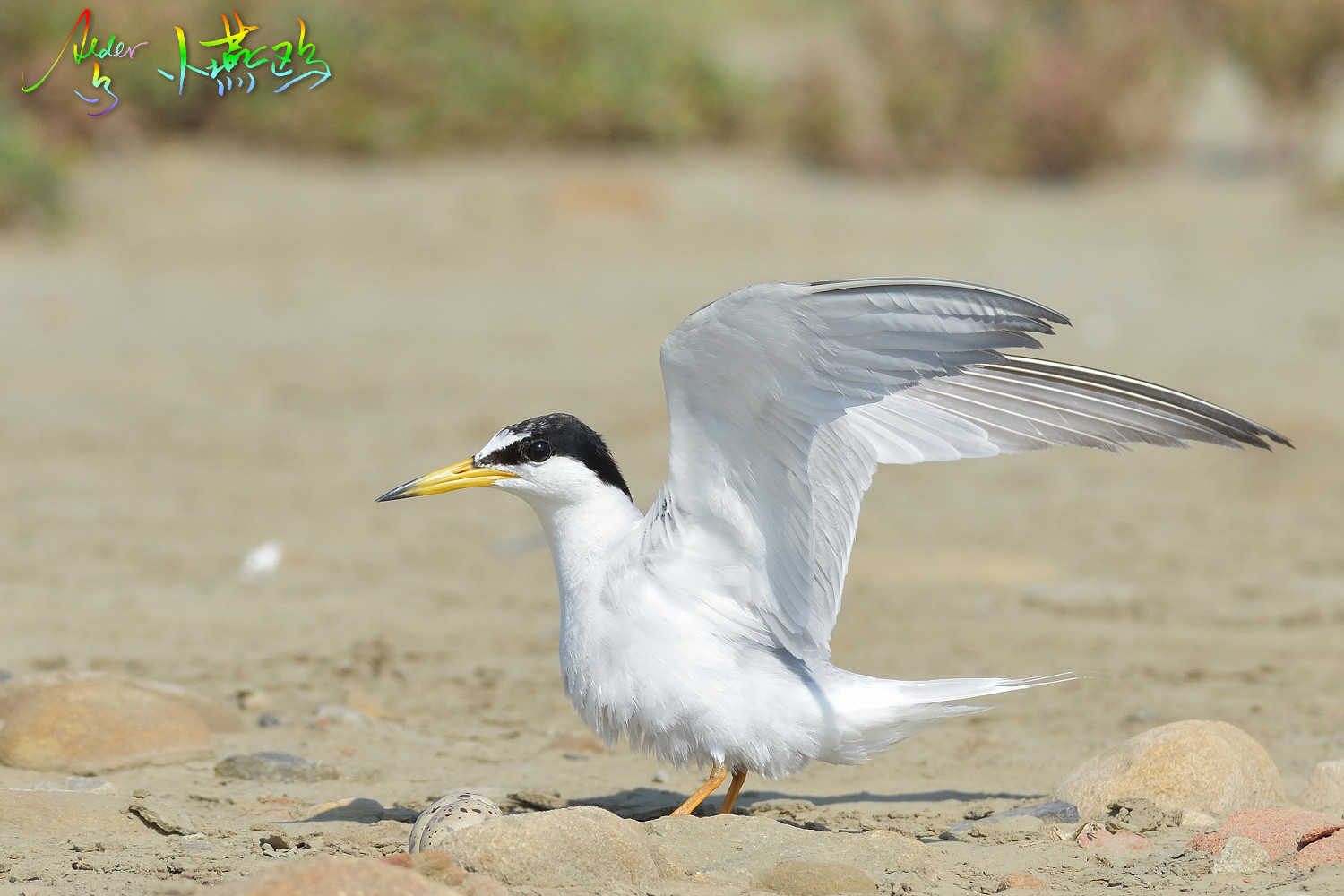 Little_Tern_2556