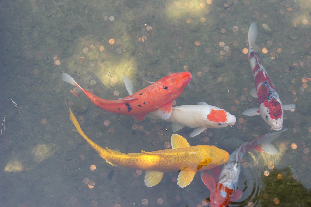 Koi fish japanese garden huntington botanical gardens for Nishinomiya tsutakawa japanese garden koi