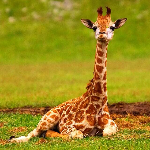 Baby Giraffe! #baby #giraffe #babyanimals #wildlife #conse ...