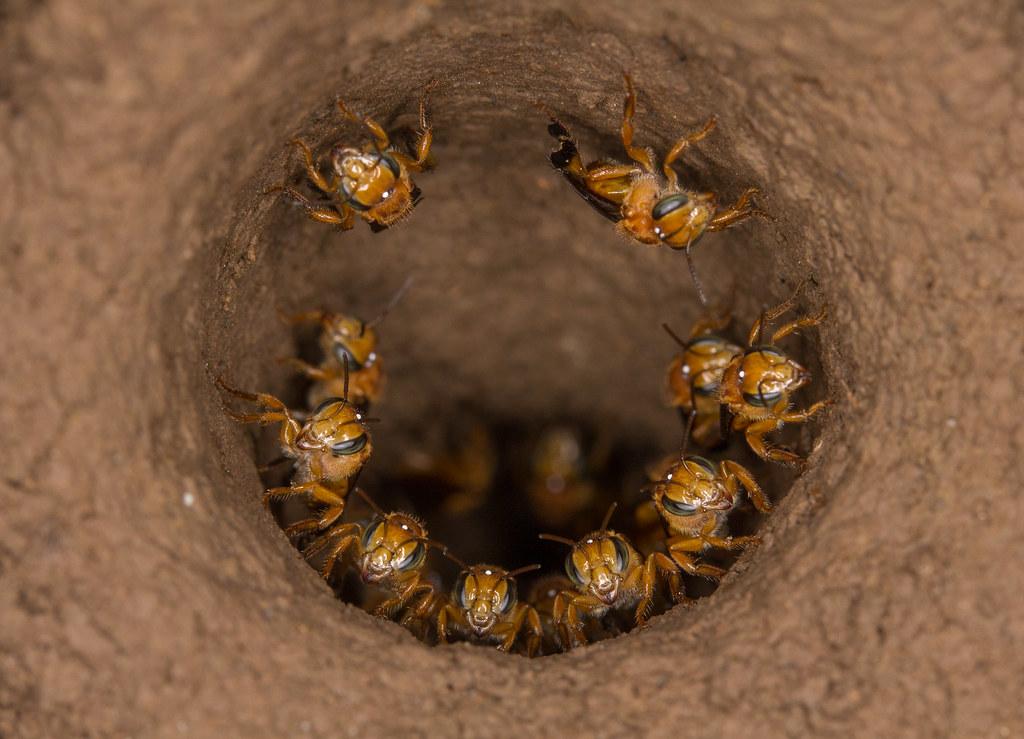 Cf Scaptotrigona Depilis Ecuadorian Hair Cutting Bee
