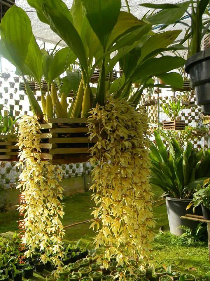 Orquidea Coelogyne Rochussenii Coelogyne Rochussenii | by