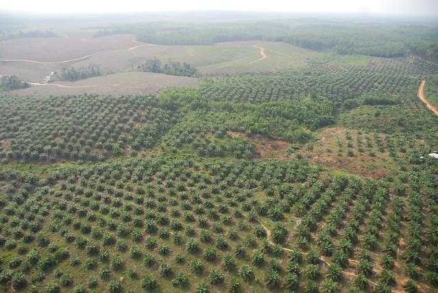 印尼蘇門答臘  大片原始雨林遭砍除  轉作棕櫚園