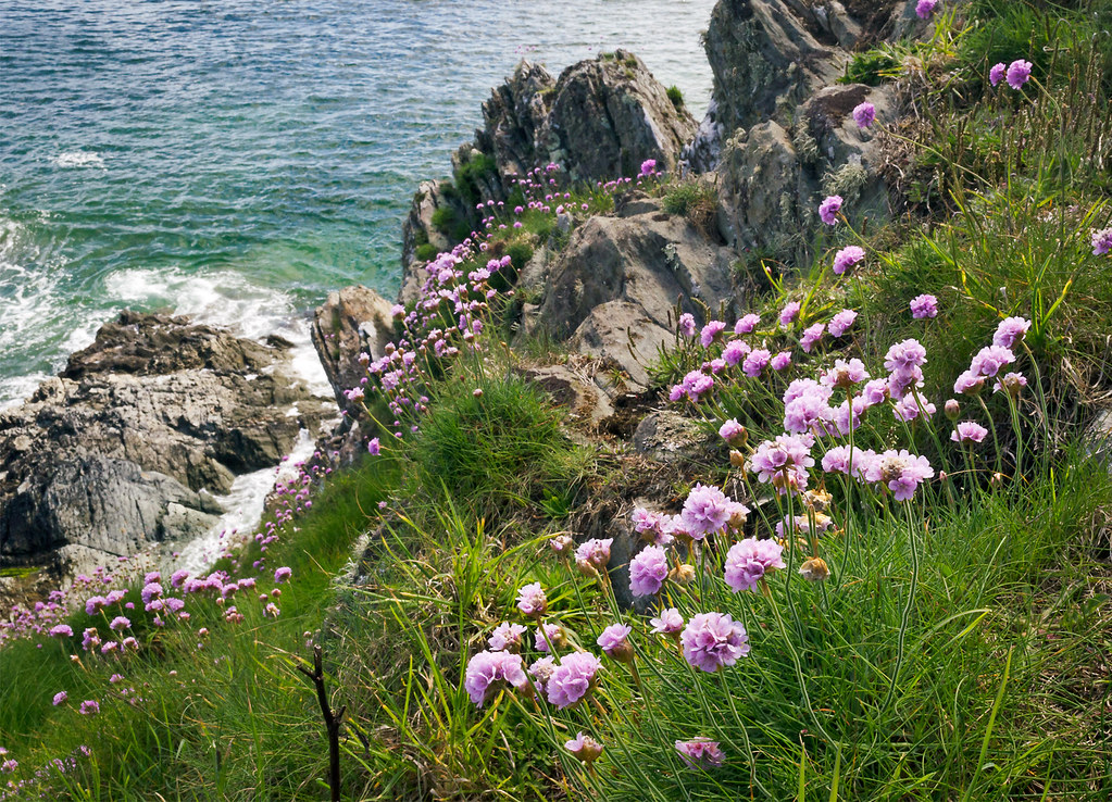 Coastal flowers on cliffs in cornwall uk the flowering flickr coastal flowers on cliffs in cornwall uk the flowering english countryside 7 of mightylinksfo