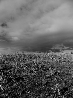 Old Sweetcorn Field | by Twitter: @GrowLikeGrandad