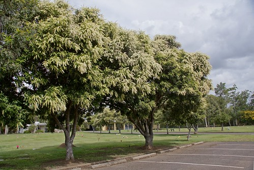 Ivory Curl Trees - summer flowering (Buckinghamia celsissi ...