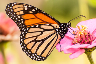 Monarch Butterfly | by PMillera4