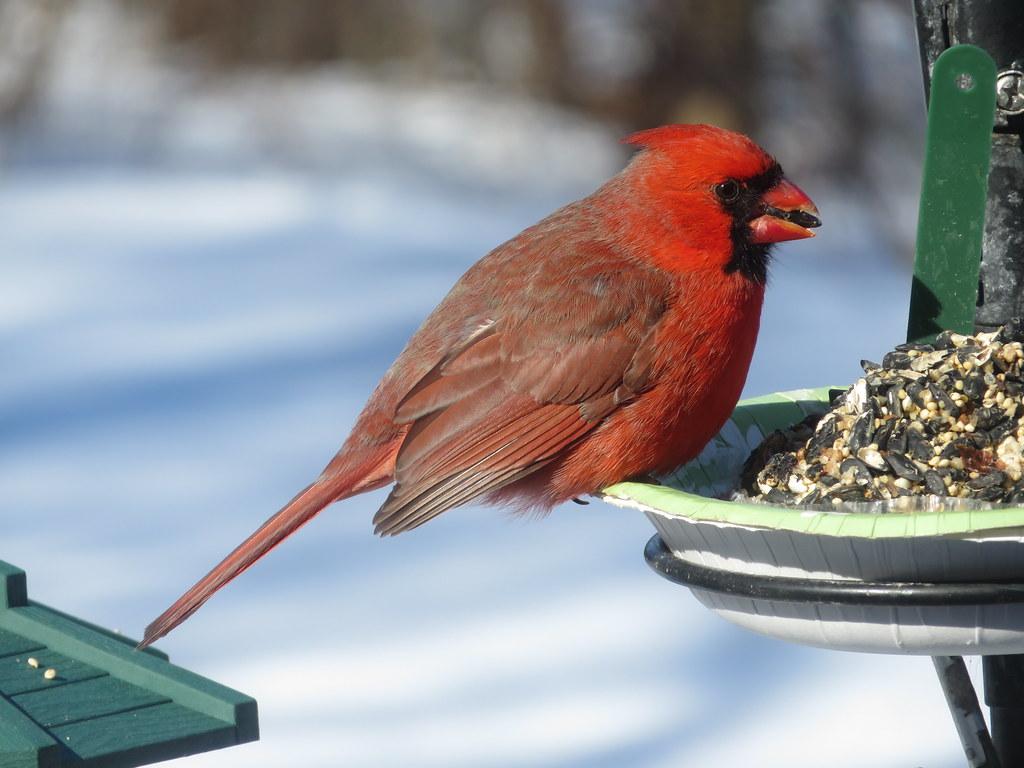 the cardinal illinois state bird snow and bird seed cake flickr