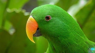 Green Eclectus | by Theen ...