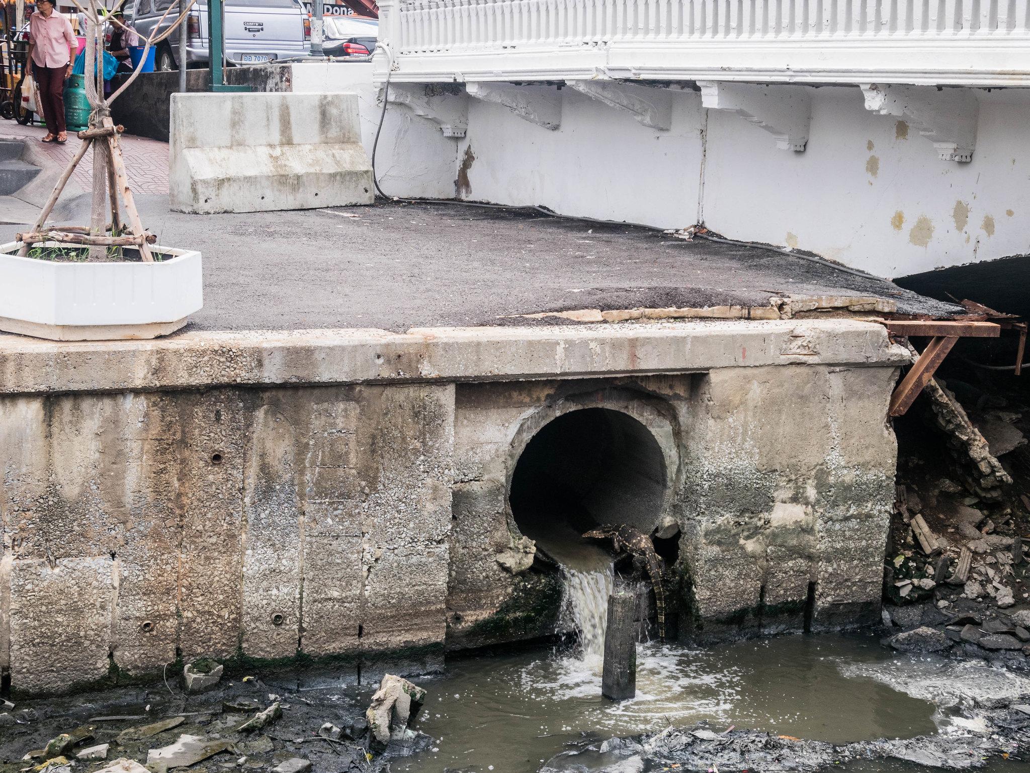 Varan in drain