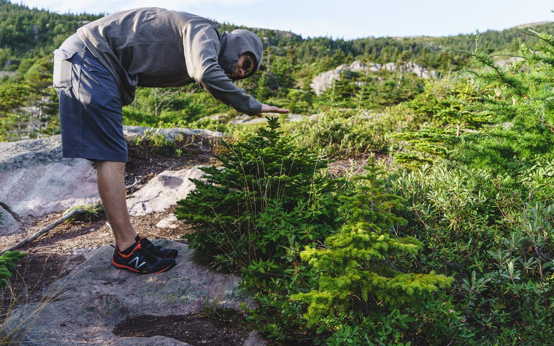 Newfoundland dwarf white spruce