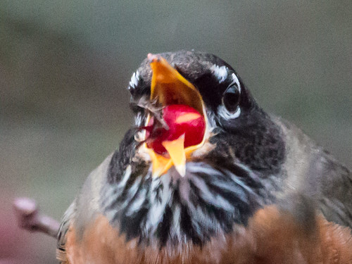 American Robin swallowing fruit using its tongue | by Laura Erickson