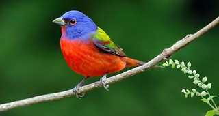 Painted Bunting (Passerina ciris) | by timjhopwood