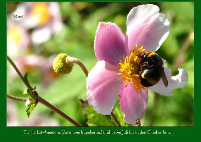 """Gartenreise. Die Klosterkirche St. Maria in Lobenfeld ist ein kleines Schmuckstück im Kraichgau. Der Kloster-Kräutergarten liegt sehr idyllisch neben der Klosterkirche und lädt zu einem Spaziergang zwischen den Beeten ein. Im August 2016 haben ich folgende Blumen und Pflanzen fotografiert: Eberraute (Artemisia abrotanum) - Rainfarn (Tanacetum vulgare) - Echter Baldrian (Valeriana officinalis) - Herbst-Anemone (Anemone hupehensis) - Gelber Sonnenhut - Knoblauch-Schnittlauch (Allium tuberosum) - Königskerze - Kugeldisteln (Echinops) - Mariendistel (Silybum marianum) - Roter Sonnenhut (Echinacea purpurea). Die """"mitfotografierten"""" Insekten (Bienen, Hummeln, Wespen, Schmetterlinge) schienen mir an diesem Sommertag besonders zahlreich zu sein. - Fotos und Collagen: Brigitte Stolle 2016"""