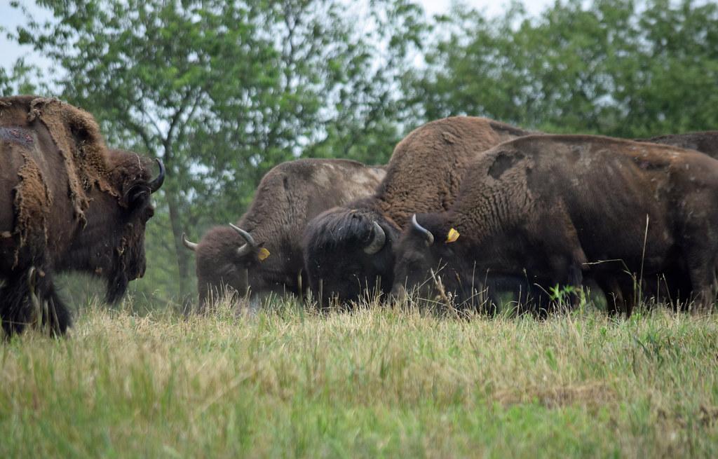 A Bison Eats Line Up, Bison! | Stan...